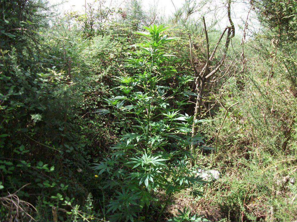 Guerilla kwekers hebben last van droogte