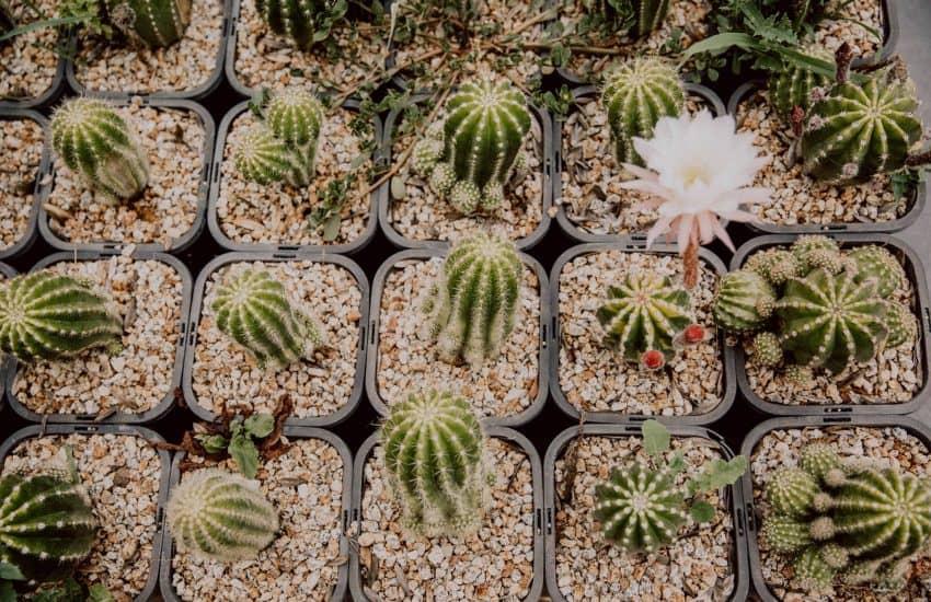 Kweek je eigen cactus