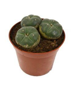 Peyote Cactus drie koppen