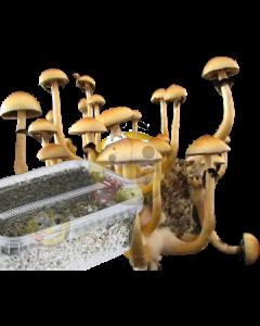 Paddo kweekset Myceliumbox Mazatapec