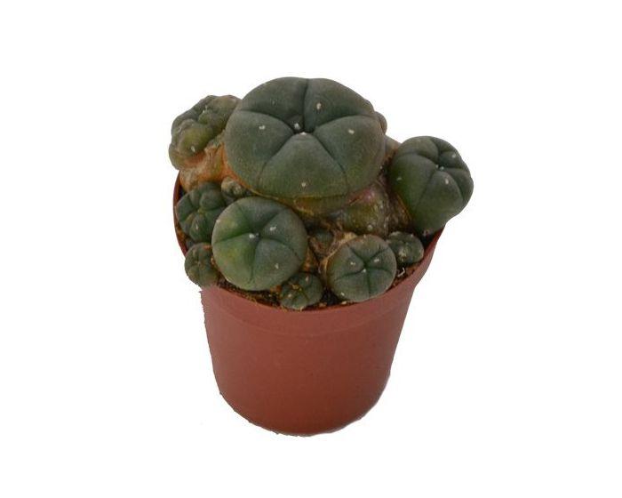 Peyote cactus cluster