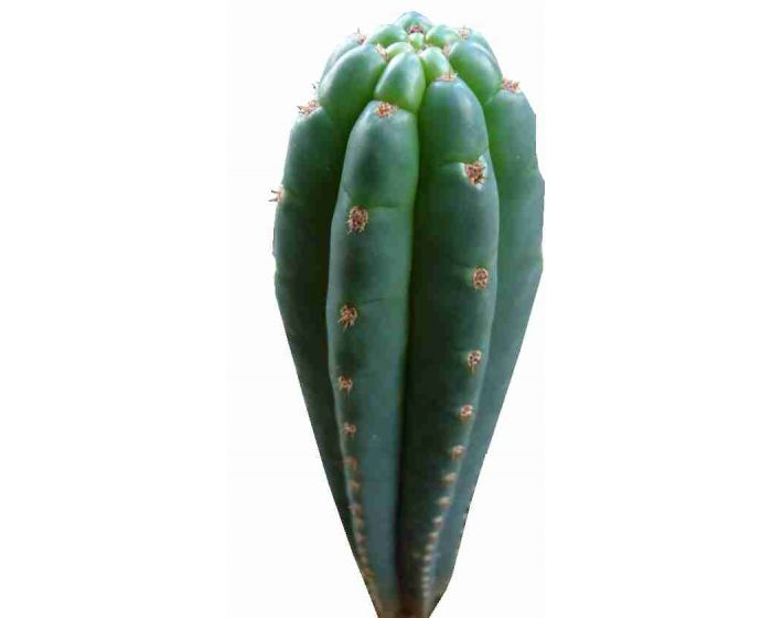 San Pedro Trichocereus pachanoi